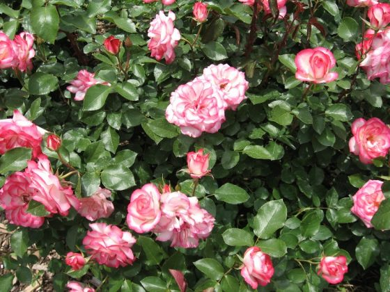 How to Enhance your Rose Garden