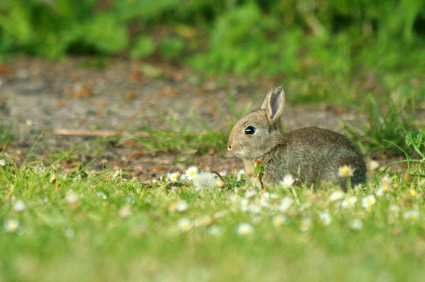 baking soda for rabbits and other natural pest control