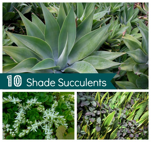 Terrific succulents for shade gallery best inspiration for Succulents that do well in shade