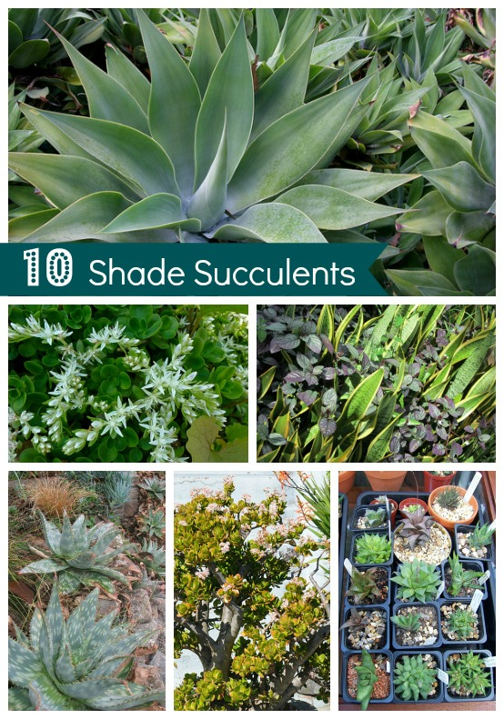 Drought Tolerant Garden - Shade Succulents