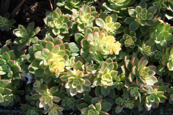 Aeonium Kiwi shade succulent