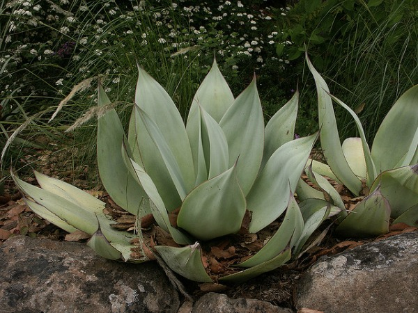 Agave Celsii Shade Succulent