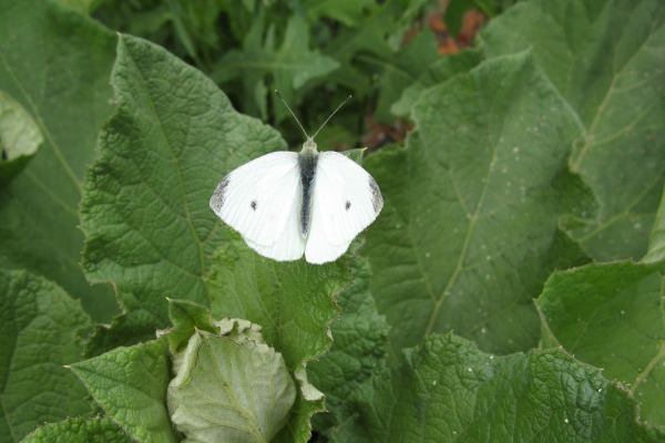 Cabbage worm butterfly pest