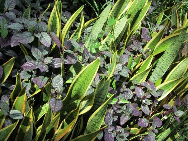sansevieria shade tolerant succulent