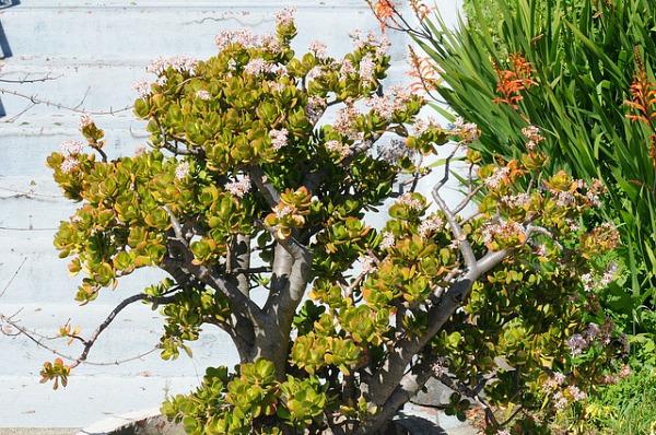 shade succulent jade plant crassula