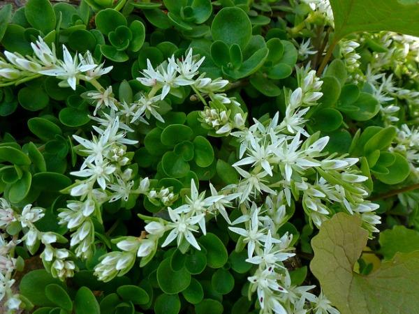 woodland sedum shade tolerant succulent