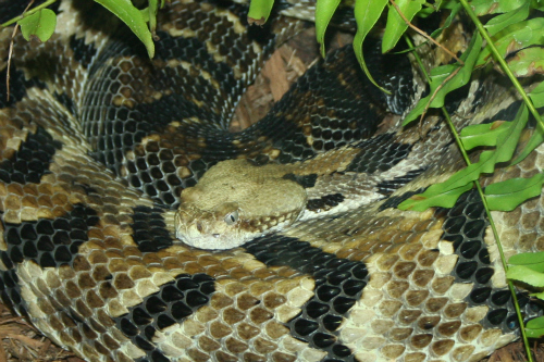 Pest Control: Rattlesnake control