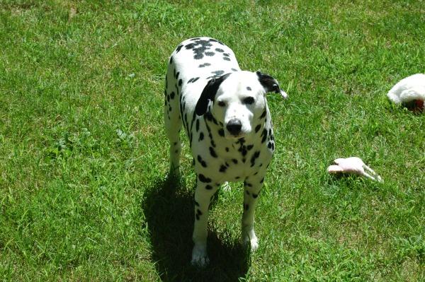 dog friendly live grass landscaping yard
