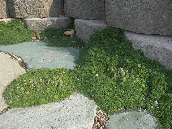 elfin thyme dog ground cover