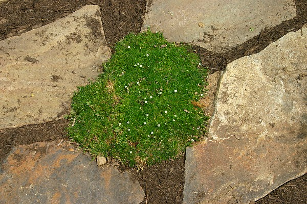 irish moss dog ground cover gardening