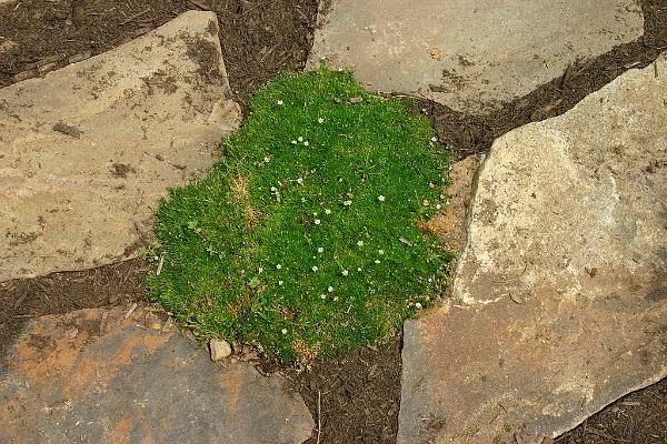 irish moss dog ground cover gardening