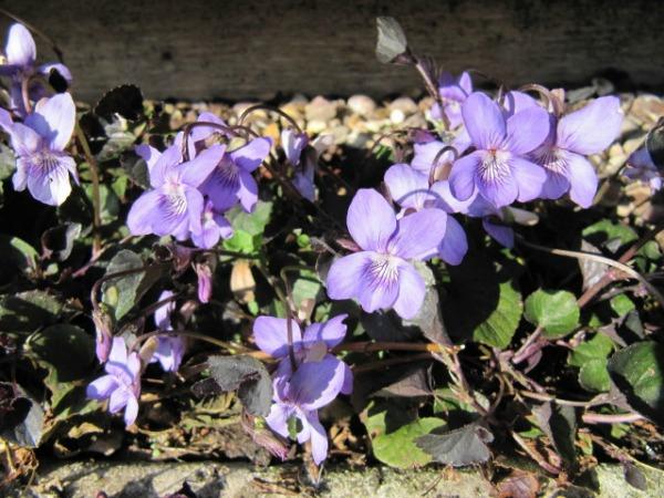 labrador violet dog ground cover