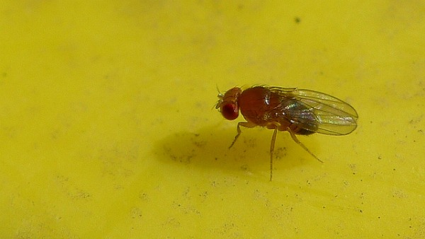 natural fruit fly pest control