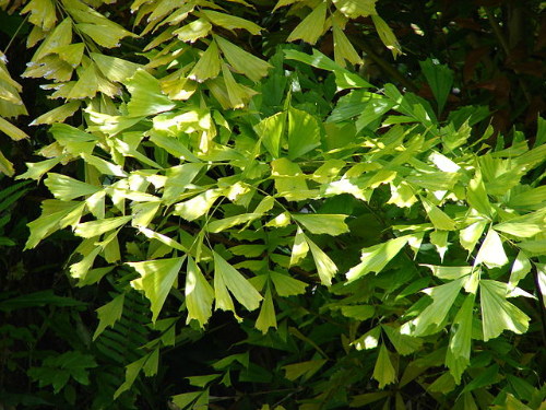 Tips on how to grow fishtail palms (caryota mitis)
