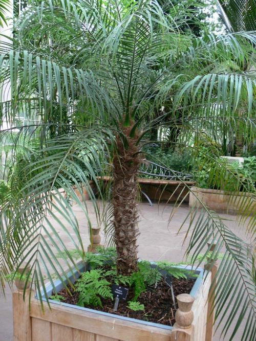 Pygmy date palm (phoenix roebelenii)