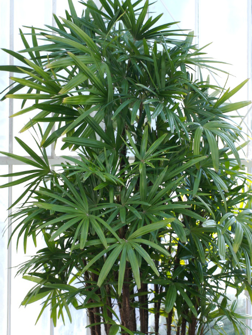 How to grow lady palms (rhapis excelsa)