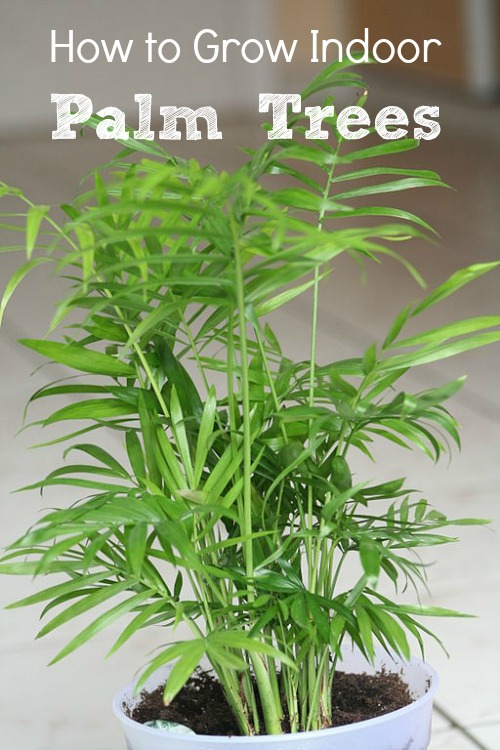 Indoor Palm Trees: Types + How To Grow Them   Install-It-Direct on names of exotic plants, low maintenance indoor plants, names of shade loving plants, names of iris plants, names of ground cover plants, names of orange plants, products we get from plants, names of florida palms, names of succulent plants, names of ornamental plants, names of climbers, names of perennial plants, names of wood plants, names of tropical plants, names of water plants, names of desert plants, names of landscape plants, names of all types of plants catalog, names of flowering plants, names of indoor plants,