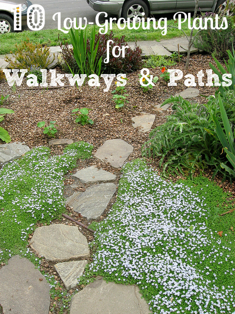 Low growing plants guide border plants for walkway for Low growing landscape plants
