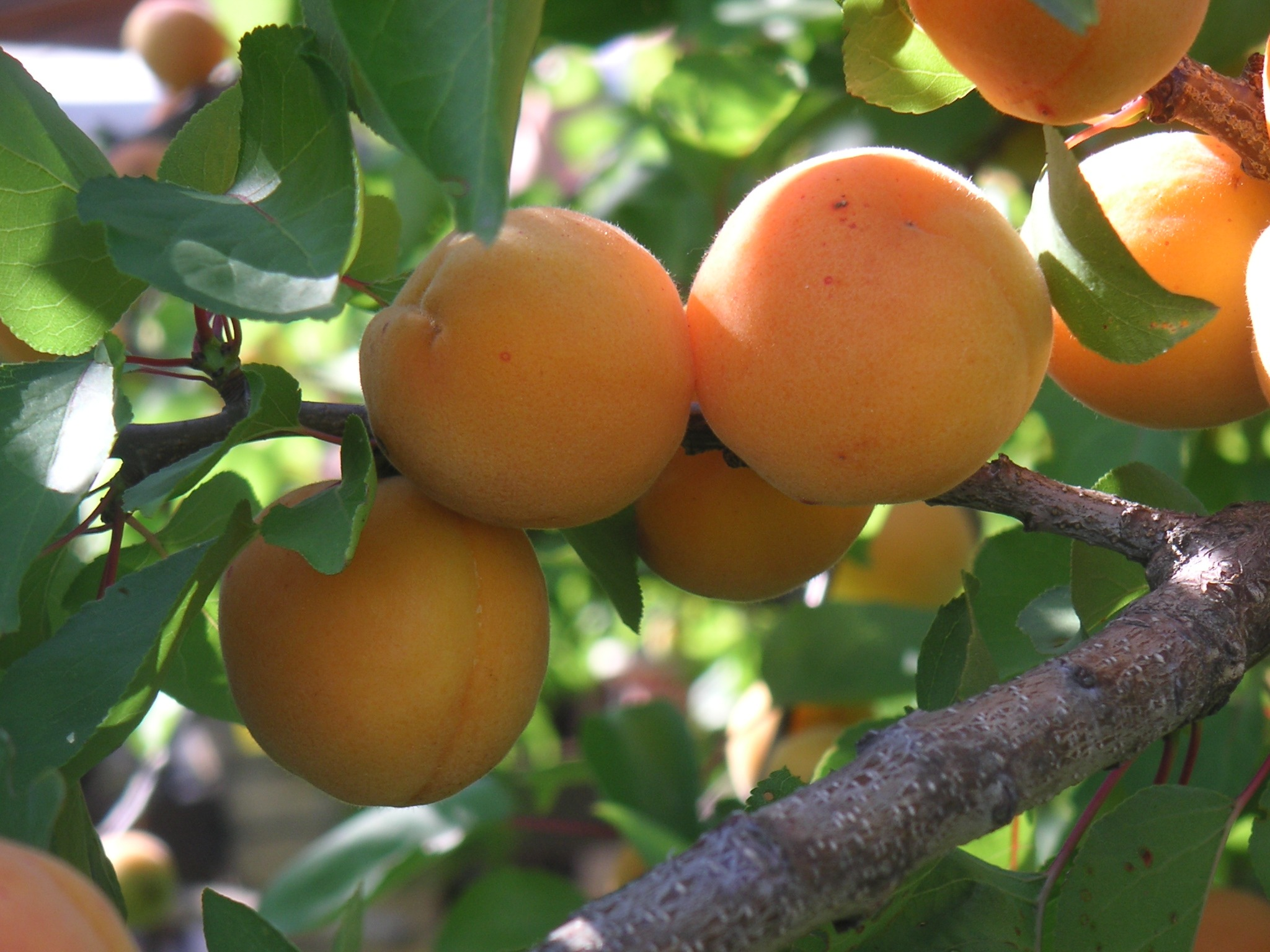 Fruit Trees San Go Guide The Best
