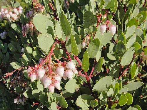 Arctostaphylos glauca (Los Angeles Big Berry Manzanita)