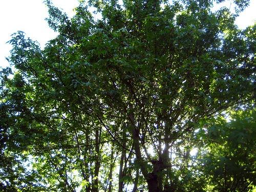 Big Leaf Maple (Acer macrophyllum)
