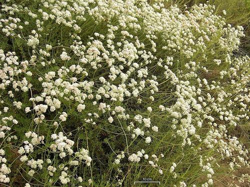 Eriogonum fasciculatum foliolosum (California Buckwheat)