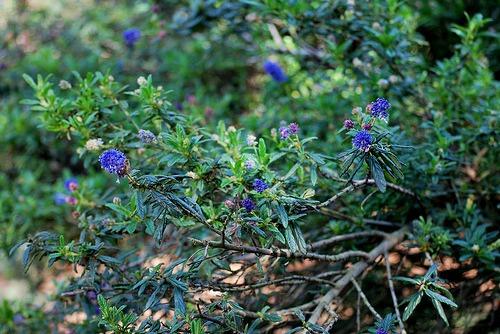 Ceanothus concha (California Mountain Lilac)