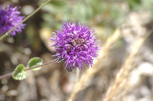 Monardella villosa (Coyote Mint)
