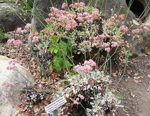 Eriogonum grande rubescens (San Miguel Island Buckwheat)