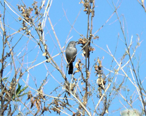 gnat catcher bird
