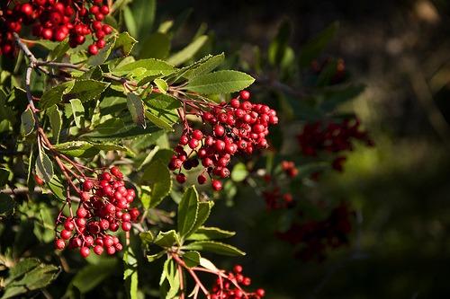 Heteromeles arbutifolia (Christmas Berry)