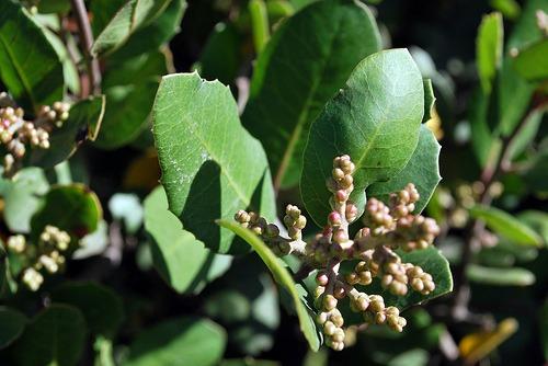 Lemonade Berry (Rhus integrifolia)