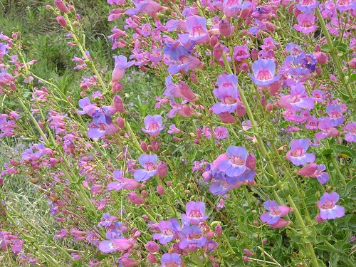 Penstemon spectabilis (Showy Penstemon)