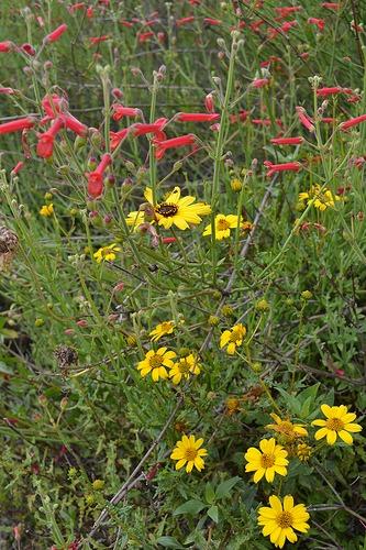 Bahiopsis laciniata (San Diego Sunflower)