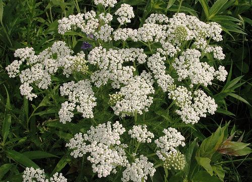 Yarrow (Achillea millefoliuma)