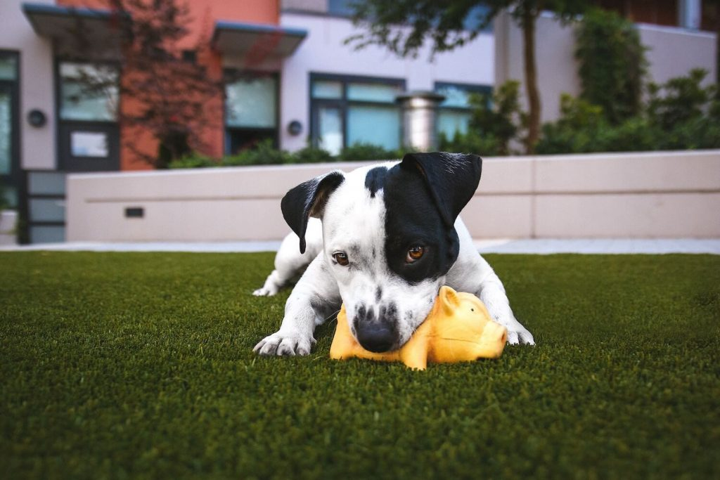 Dog plays with toy on artificial turf lawn.