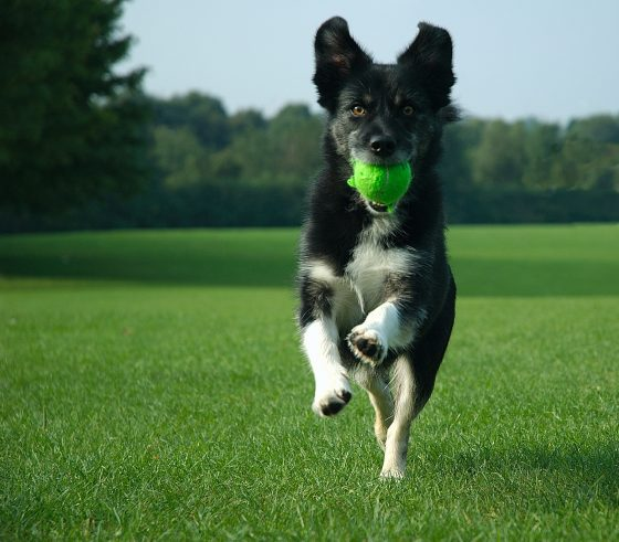 Synthetic pet turf provides a safer surface for playing fetch.