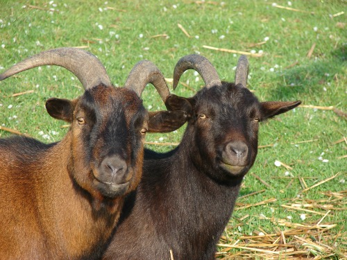 goats for fire damage control