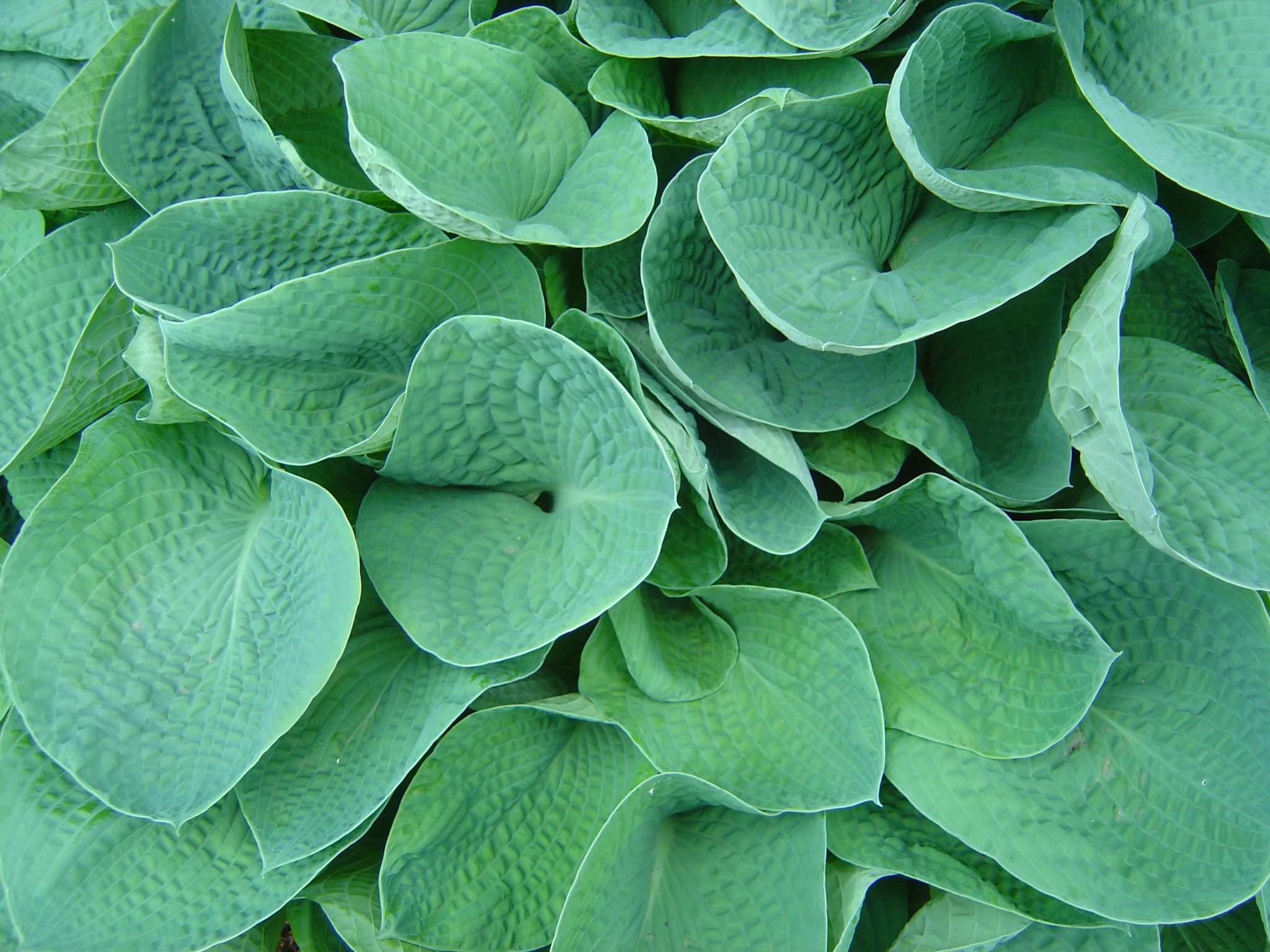 Green Hosta with Textured Leaves
