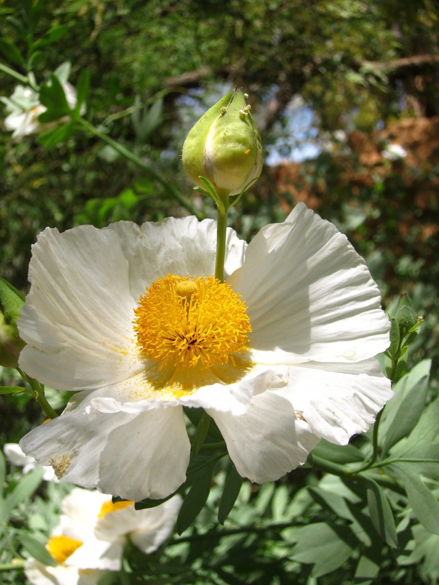California Perennials