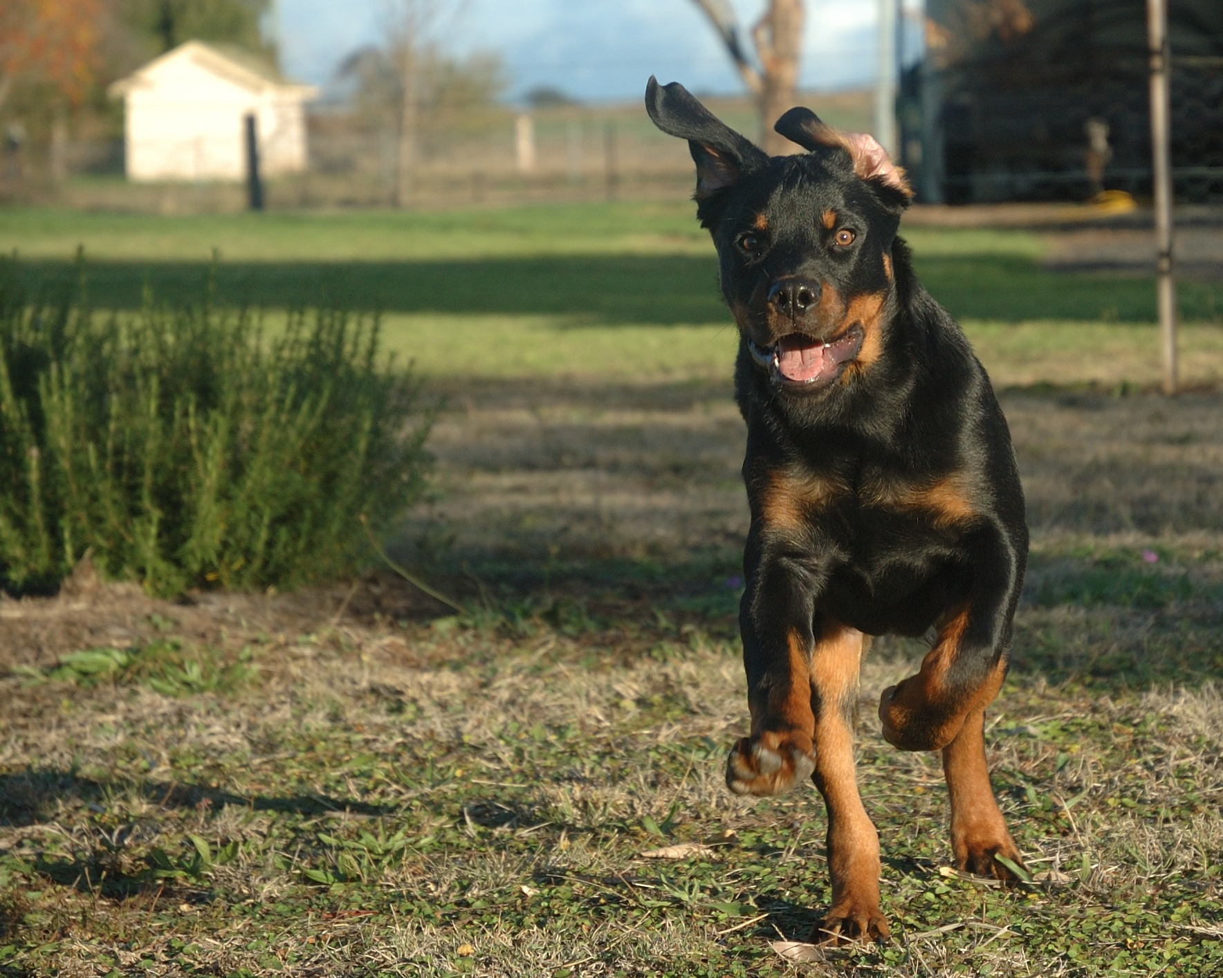 Rottweiler Dog runs in yard