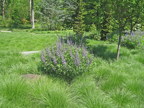 grasses lawn replacement
