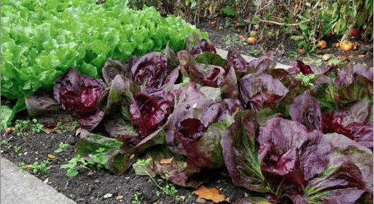 Lettuce homegrown
