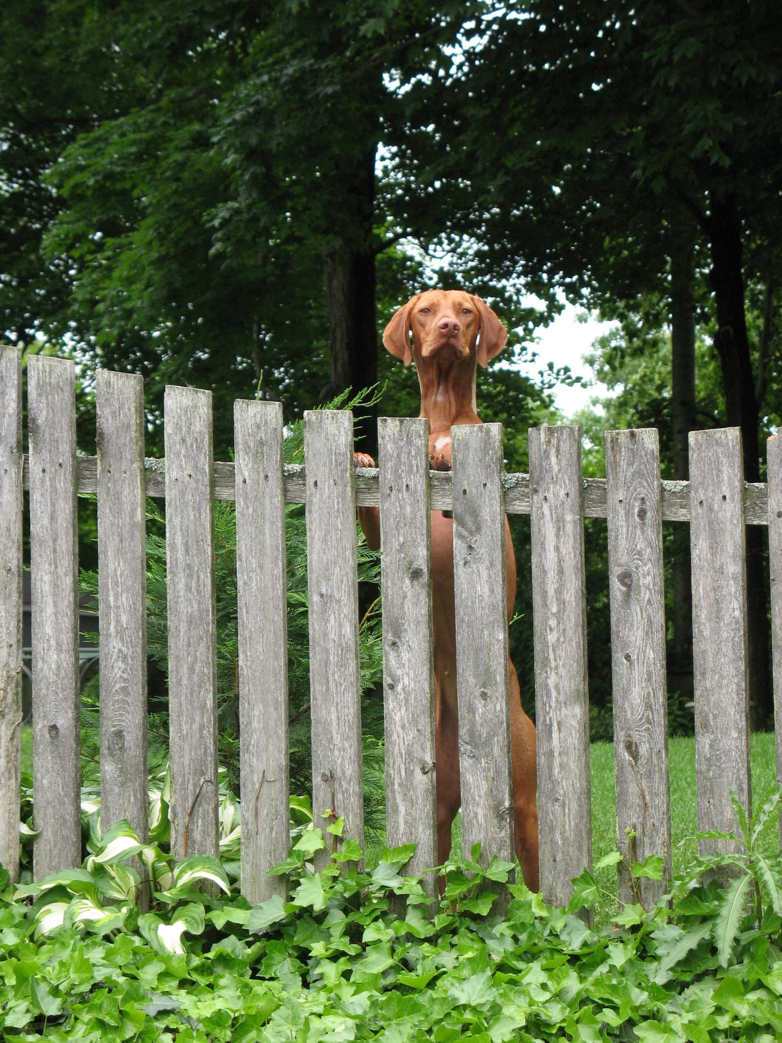 Large dog looks over fence
