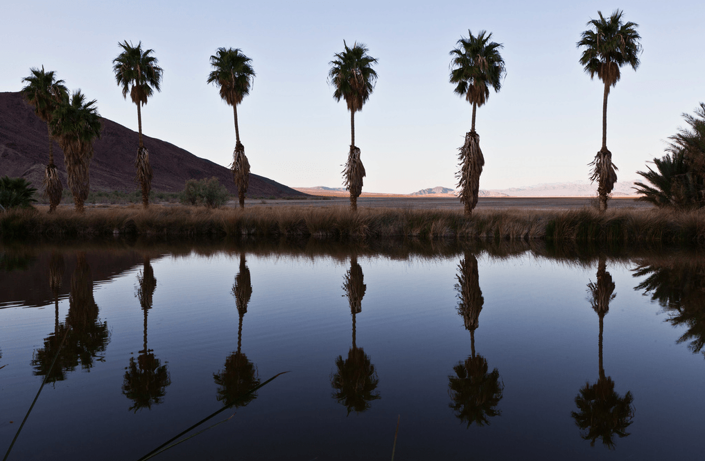 palm trees califonia