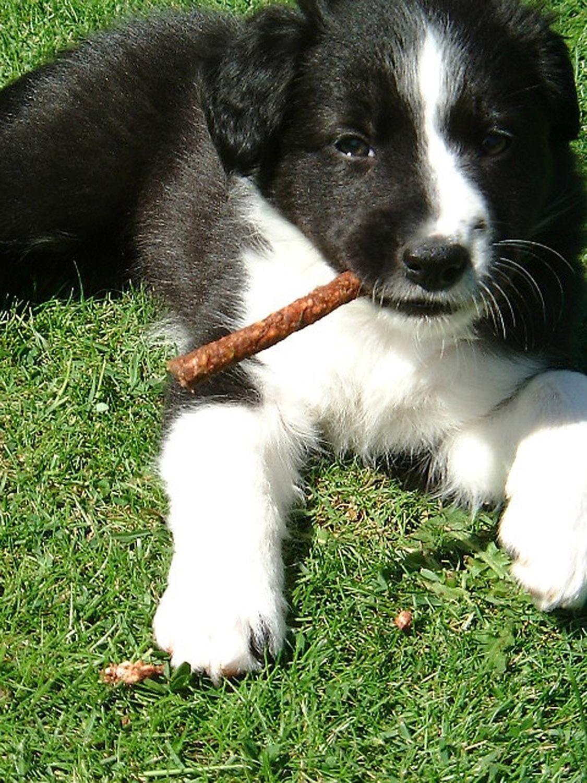 puppy chews on stick