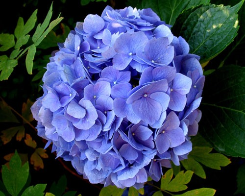 Tips for growing hydrangeas in southern california for Best flowers to grow in california
