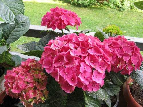Tips For Growing Hydrangeas In Southern California