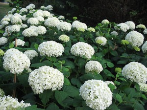 White Hydrangeas in Southern California