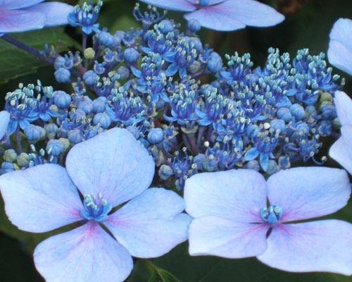 Blue Lacecape Hydrangea